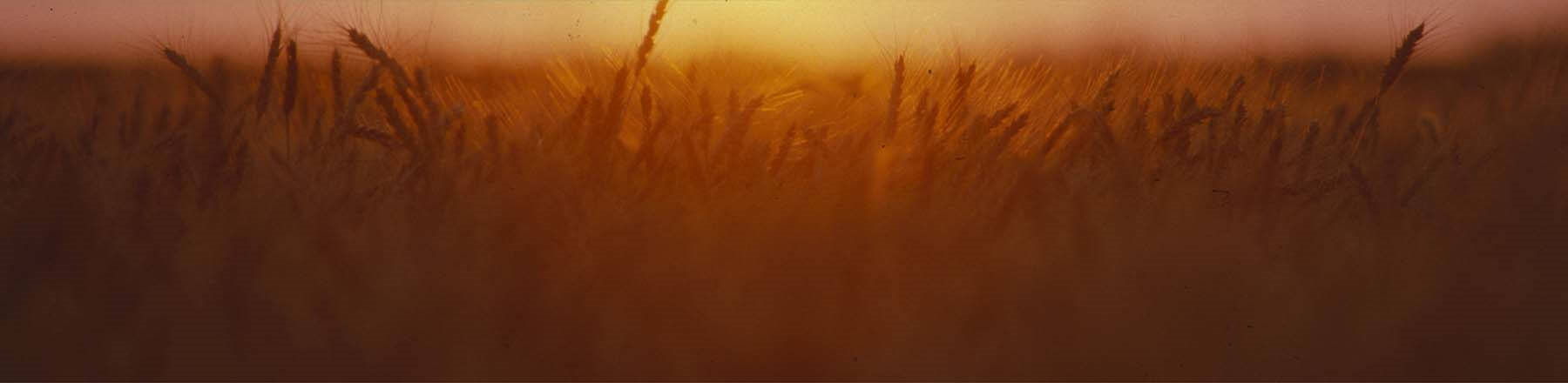 Wheatfield at sunset.