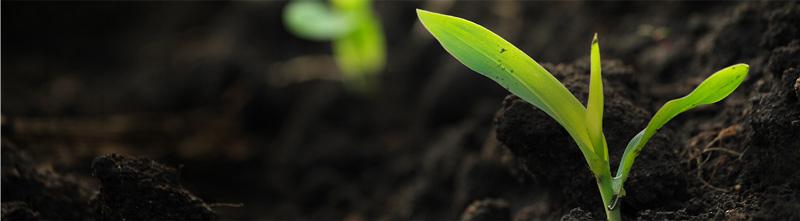 Mudas de uma plantação germinando do solo