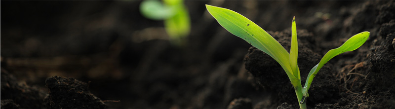 Seedlings in a crop, sprouting from rich soil.