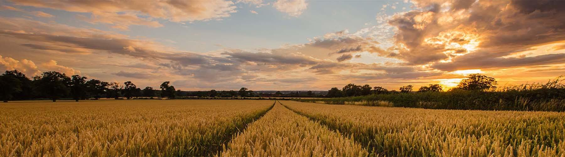 A wheatfield at sunrise.