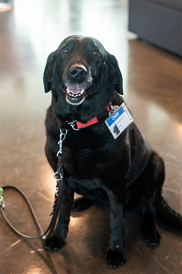 Image of a Spectrum employee's guide dog posing for the camera inside of the Spectrum officet