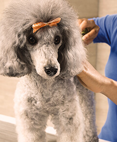 Poodle with Bow in its hair