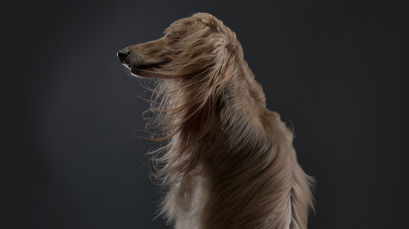 Image of afghan hound with flowing hair
