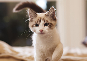 Small white and grey kitten walking forwards