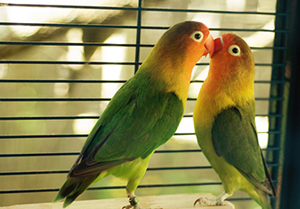 Two colorful parrots touching beaks in front of a window